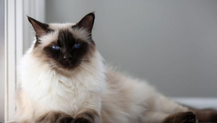 Balinees kat