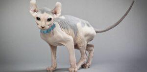Elf Kat naaktkat