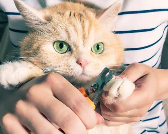 Hoe hou je een kat vast om nagels te knippen