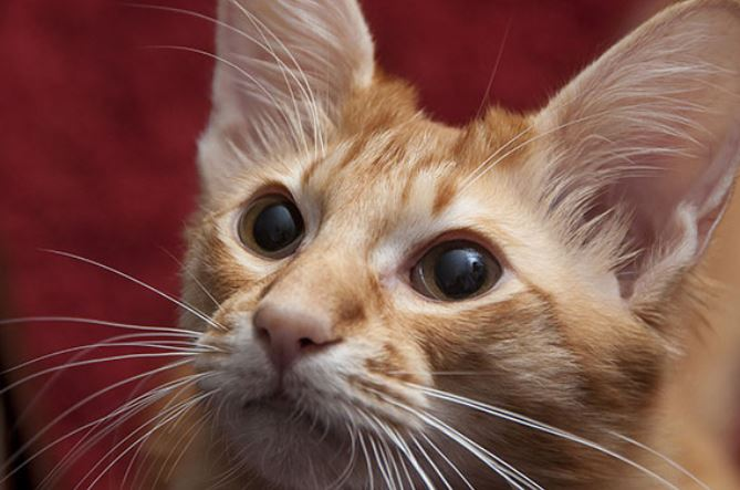Hypoallergene katten