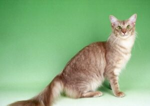 Javaanse kat