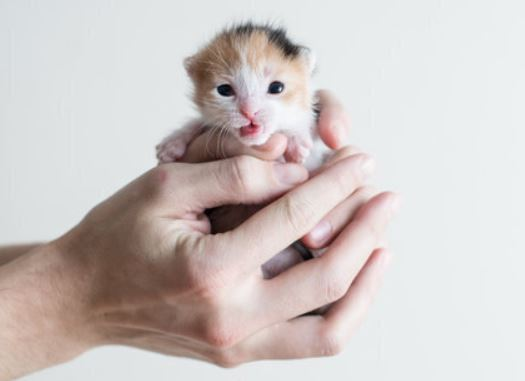 bepalen van de leeftijd van een kitten