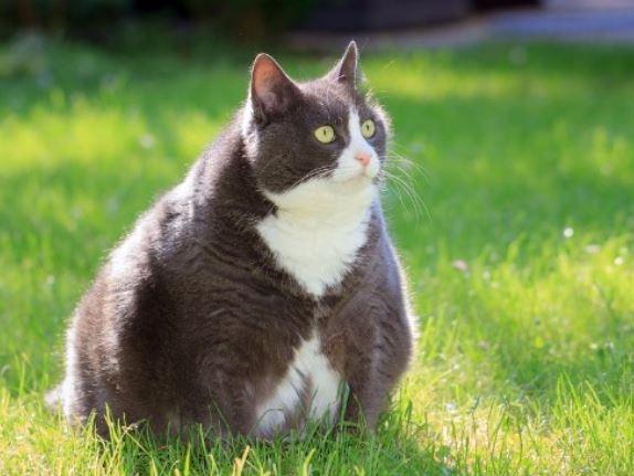 diabetes bij katten