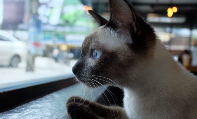 slimste kattenrassen