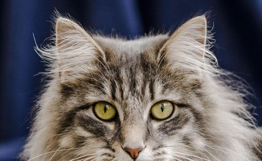 teek bij een kat