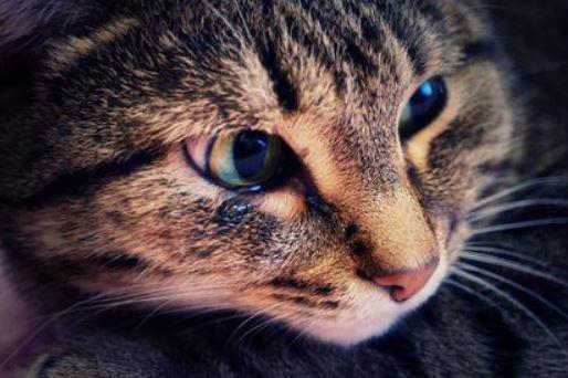 huilende kat