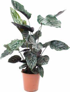 Calathea Sanderiana (Levende plant) - Hoogte ↕55cm - in Kwekerspot ⌀17 cm