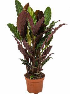 Calathea 'Tropistar - Luchtzuiverende Calathea per stuk - Kamerplant in kwekerspot ⌀12 cm - ↕45 cm