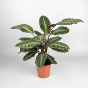 Calathea Warsewiccii - groenekamerplant - schaduwplant