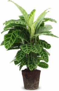 Calathea Zebrina P19 Zonder pot