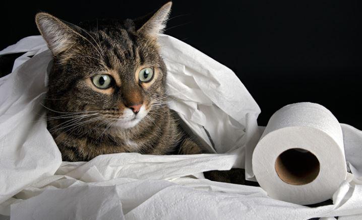 Diarree kat