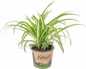Graslelie - Chlorophytum 'Variegatum' per stuk - PetFriendly - Kamerplant ⌀12 cm - ↕25 cm