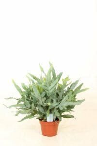 Kamerplant - Phlebodium Blue Star - ↑ 50-55cm