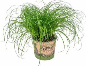Kattengras - Cyperus alternifolius 'Zumula' per stuk - PetFriendly - Kamerplant ⌀12 cm - ↕20-25 cm