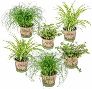 Mix 6x PetFriendly kamerplanten - 2x Kattengras, 2x Graslelie & 2x Schildpadplant -⌀12 cm -↕20-25 cm