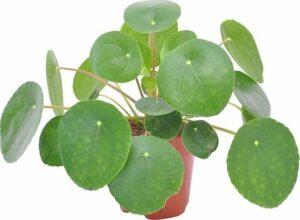 Pilea Peperomioides Pannenkoekplant - ↑ 15-20cm - Ø 12cm