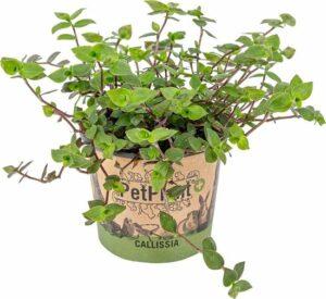 Schildpad plant - Calissia Repens per stuk - PetFriendly - Kamerplant ⌀12 cm - ↕20 cm