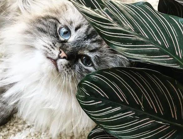 calathea giftig voor katten