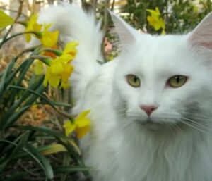 witte Maine Coon