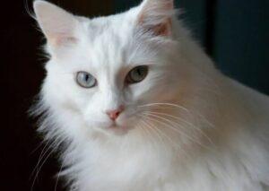 witte Noorse Boskat