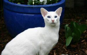 witte Siamese Kat
