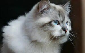 witte Siberische Kat