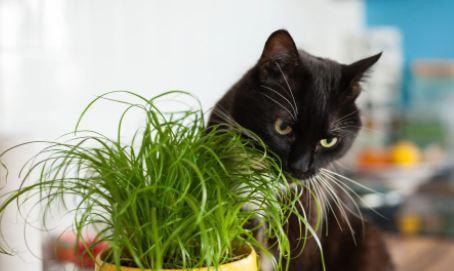 Mag je kat graslelie eten en is het giftig