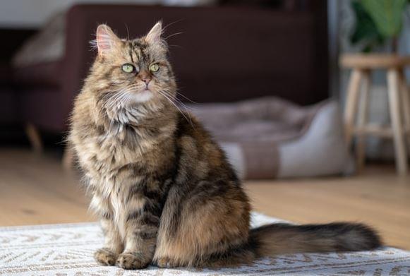 Waarom Maine Coon katten kwijlen