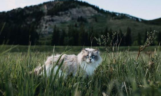 Waarom u uw Ragdoll kat niet buiten moet laten