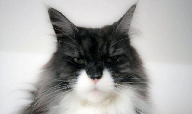 Zijn Maine Coon katten agressief