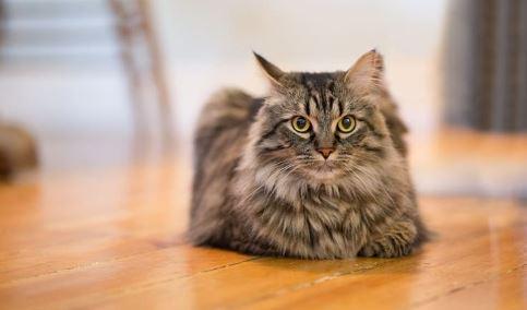 Zijn Maine Coon katten erg luidruchtig.