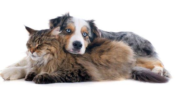 Zijn Maine Coon katten goed met honden