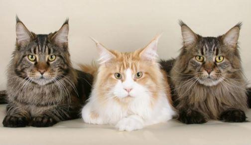 Zijn Maine Coon katten goede huisdieren