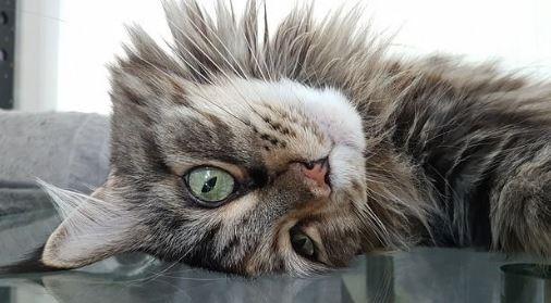 Zijn Maine Coon katten luie of actieve katten