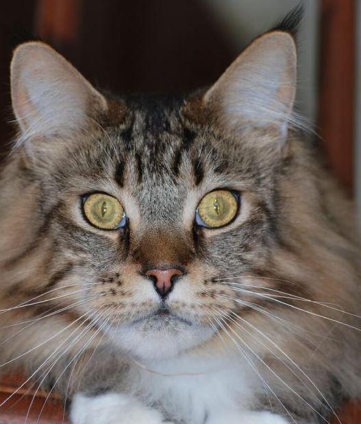 Zijn Maine Coon katten nachtdieren
