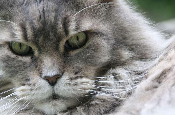 Zijn Maine Coon katten verlegen