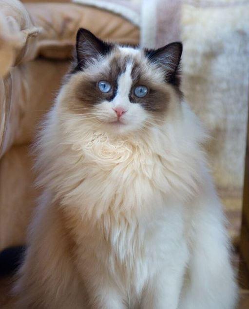 Zijn Ragdoll katten goed voor nieuwe baasjes