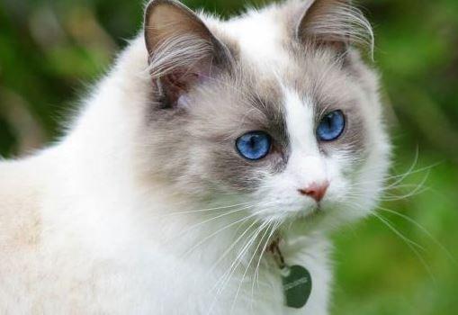 diarree bij ragdoll katten
