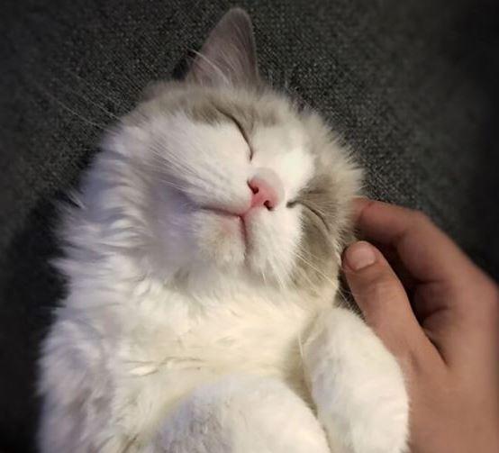 hoe te spelen met een ragdoll kat