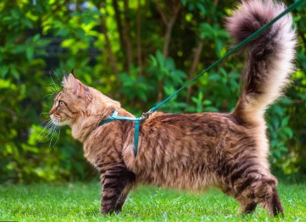 maine coon aan leiband