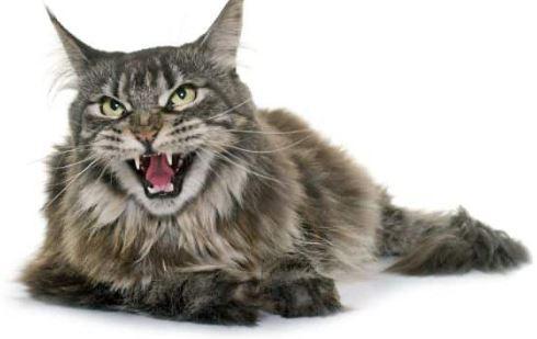 redenen waarom uw Maine Coon veel miauwt