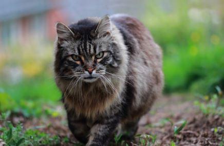 zijn maine coon katten wild