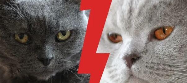 Brits Korthaar vs Chartreux Kat