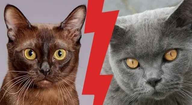 Britse Korthaar vs Burmees Kat