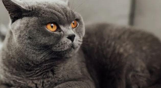 Houden Brits Korthaar Katten van Knuffels