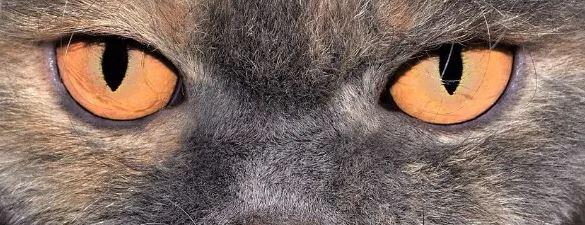 Veranderen de ogen van Britse blauwe katten van kleur