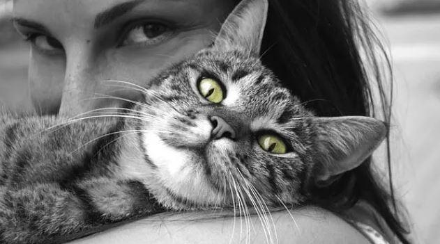 Vinden Brits Korthaar Katten het leuk om opgepakt te worden