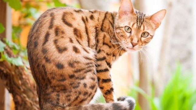 Zijn Bengaalse katten hypoallergeen