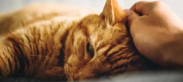 Zijn Brits Korthaar Katten Aanhankelijk