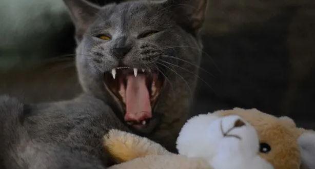 Zijn Brits Korthaar Katten Agressief